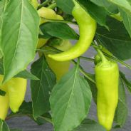 Sweet Pepper Sweet Banana - 100 seeds